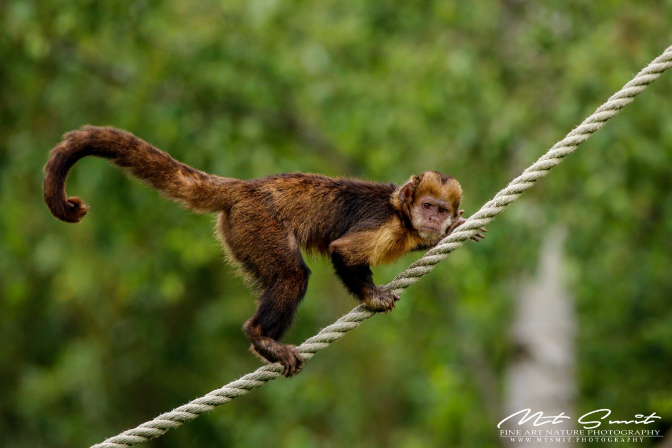 YELLOW BREAST CAPUCHIN